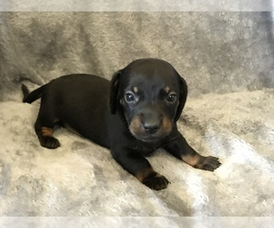 Dachshund Puppy for sale in MIDDLETOWN, IN, USA