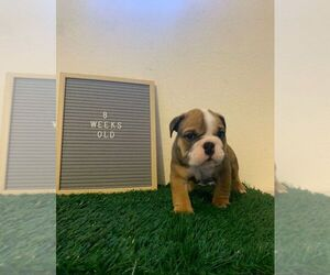 English Bulldog Puppy for sale in IMPERIAL BCH, CA, USA