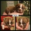 Boston Terrier Puppy For Sale in ODENVILLE, AL