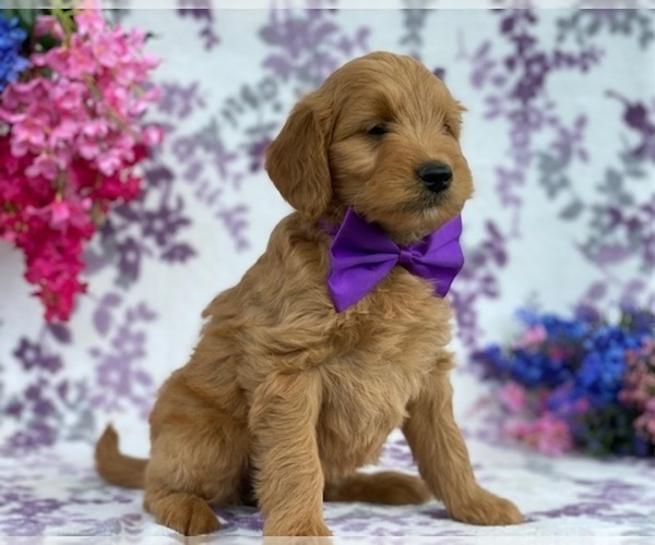 Medium Photo #2 Goldendoodle Puppy For Sale in LANCASTER, PA, USA