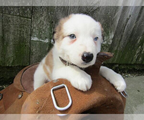 PuppyFinder com - View Ad: Photo #3 of Listing Border Collie