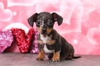 Dachshund Puppy For Sale in BEL AIR, MD, USA