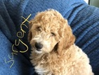 Labradoodle-Poodle (Standard) Mix Puppy For Sale in ALPINE, UT, USA