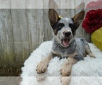 Small #3 Australian Cattle Dog