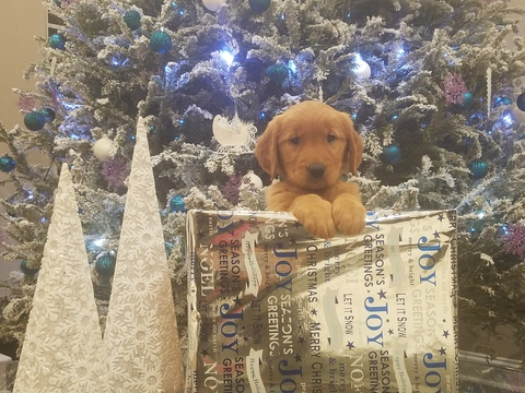 View Ad: Golden Retriever Puppy for Sale near South ...