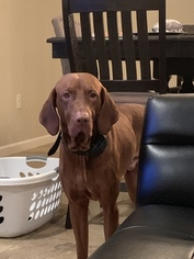 Father of the Vizsla puppies born on 01/13/2019