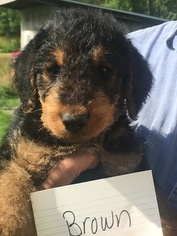 Airedale Terrier Puppy For Sale in ALLENDALE, MI, USA