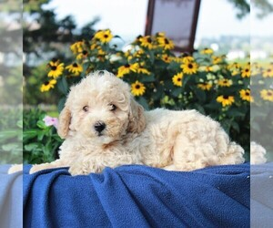 Poochon Puppy for sale in NARVON, PA, USA