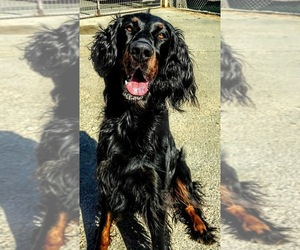 Father of the Gordon Setter puppies born on 09/08/2020