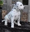 Dalmatian Puppy For Sale in ATWOOD, IL, USA