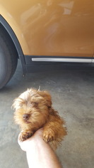 Yorkshire Terrier Puppy For Sale in FAYETTEVILLE, AR