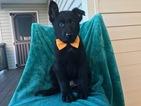 Dutch Shepherd Dog-German Shepherd Dog Mix Puppy For Sale in EAST EARL, PA, USA