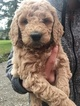 Goldendoodle-Poodle (Standard) Mix Puppy For Sale in BATTLE GROUND, WA, USA