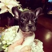 French Bulldog Puppy For Sale in LOS ANGELES, CA