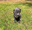 Great Dane Puppy For Sale in BRUNSWICK, GA, USA