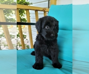 Schnauzer (Giant) Puppy for Sale in HENDERSON, North Carolina USA