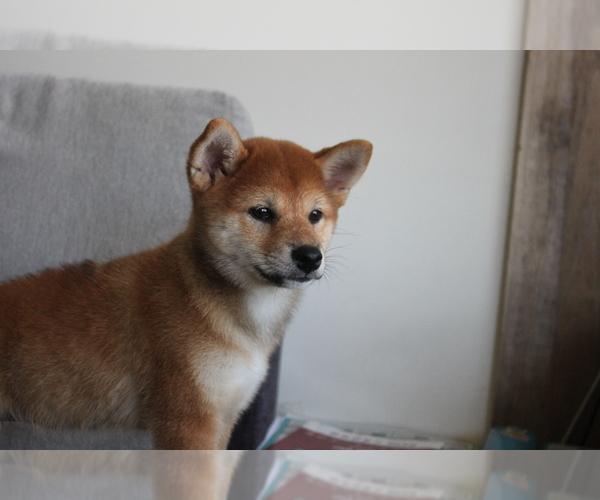 Medium Photo #7 Shiba Inu Puppy For Sale in SEATTLE, WA, USA