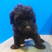 Chocolate Toy Poodle