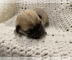 Puppy 3 Havachon
