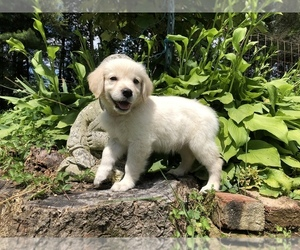 Golden Retriever Puppy for Sale in SCHNECKSVILLE, Pennsylvania USA