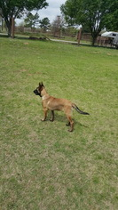 Male Malinois puppy 6  months old