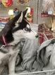 Alaskan Husky Puppy For Sale in STOCKTON, CA, USA