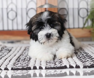 Havanese Dog for Adoption in NAPLES, Florida USA
