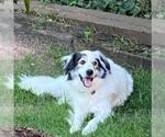 Small #255 Australian Shepherd-Great Pyrenees Mix