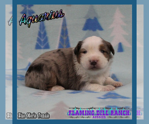 Miniature Australian Shepherd Puppy for Sale in FORESTBURG, Texas USA