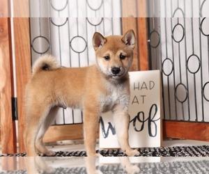 Shiba Inu Puppy for sale in NAPLES, FL, USA