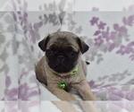 Puppy 2 Pug