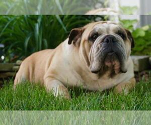 English Bulldog Puppy for Sale in WARSAW, Indiana USA