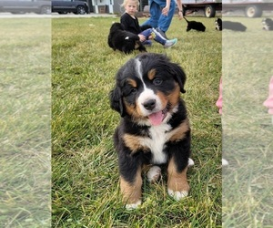 Bernese Mountain Dog Puppy for sale in PAXTON, IL, USA