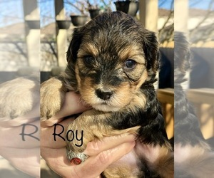 Poodle (Toy)-Yorkshire Terrier Mix Puppy for sale in GEORGETOWN, TX, USA