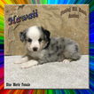 Hawaii Toy Small Mini Blue Merle Female Aussie
