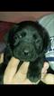 Labrador Retriever Puppy For Sale in DYERSVILLE, IA