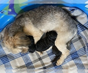 Mother of the Pomeranian-Poodle (Toy) Mix puppies born on 12/10/2020