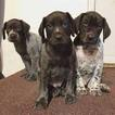 German Shorthaired Pointer Puppy For Sale in BRICELYN, MN,