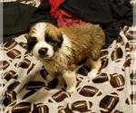 Puppy 12 Saint Bernard