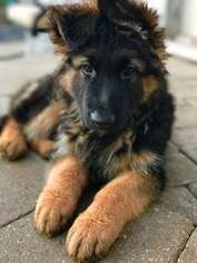 German Shepherd Dog Puppy For Sale in OSWEGO, IL, USA