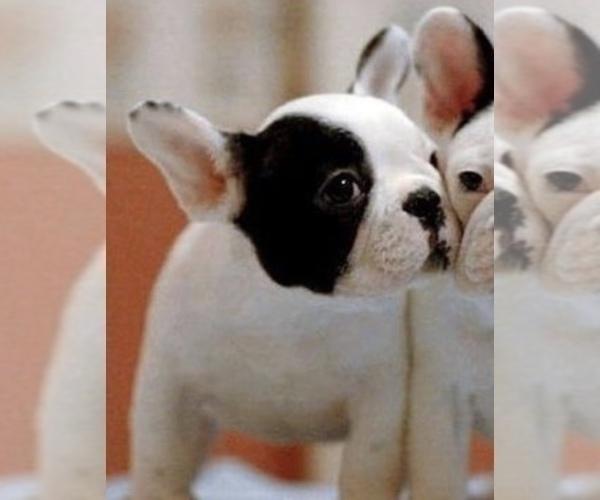Medium Photo #7 French Bulldog Puppy For Sale in STATEN ISLAND, NY, USA