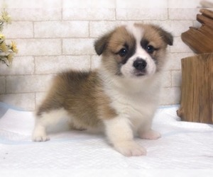 Pembroke Welsh Corgi Puppy for sale in NEW YORK, NY, USA