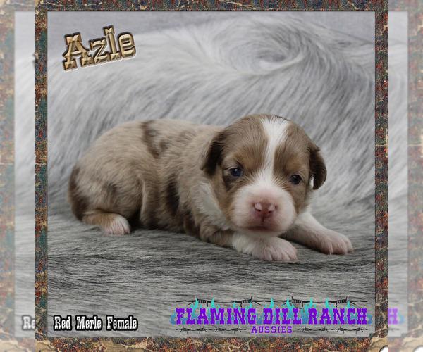 Medium Photo #1 Miniature Australian Shepherd Puppy For Sale in FORESTBURG, TX, USA