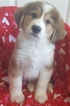 Great Bernese Puppy For Sale in NEWPORT, NE, USA