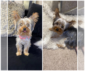Yorkshire Terrier Puppy for sale in MORROW, GA, USA