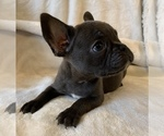 Small #15 French Bulldog