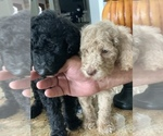 Small Photo #16 Poodle (Standard) Puppy For Sale in TAMPA, FL, USA