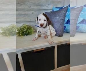 Dalmatian Puppy for Sale in SHIPSHEWANA, Indiana USA