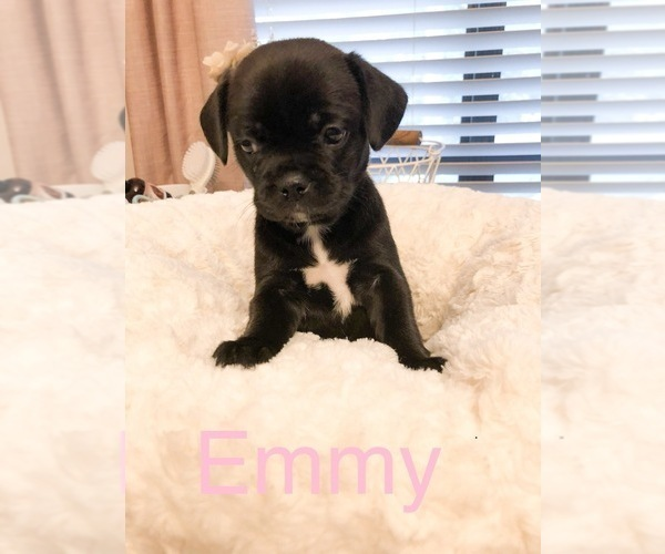 Medium Photo #4 Cavalier King Charles Spaniel-French Bulldog Mix Puppy For Sale in LAWRENCEVILLE, GA, USA