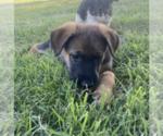 Puppy 8 Malinois